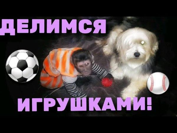 2017.12.13 Обезьяна капуцин Масяня. Показываем свои игрушки.
