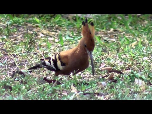 African Hoopoe / Африканский удод / Upupa Africana