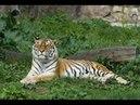 Амба Русский Амурский тигр Документальный фильм