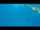 Китовая акула заглатывает снорклеров