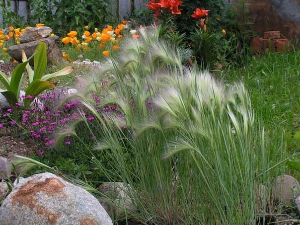 ЯЧМЕНЬ ГРИВАСТЫЙ Ячмень гривастый привлекательное растение из семейства злаковых. Гривастый ячмень используют для создания композиций с травянистыми многолетниками, например, лавандой или