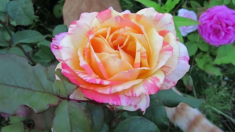 7414_ Марвел , цветок 12-14см.. Роза-хамелеон. Одна из первых , что выжила.