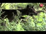 BBC Мир природы. Человек волк