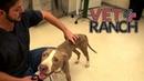 Очень худая собака.Спасли бездомного питбуля.Ветеринарное ранчо