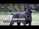 Canis Panther - A cross of Doberman and Amstaff