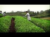 Фильм о Уишаньских чаях Да Хун Пао и других