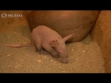 A three-week-old aardvark greets visitors for the first time at Prague Zoo