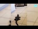 Приколы с котами – озвучка животных до слез – Смешные коты и кошки от Domi Show.mp4