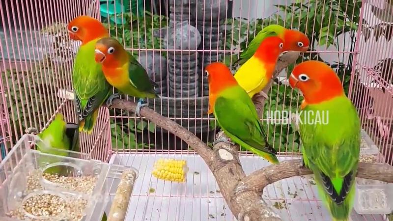 Pesona Lovebird Mewah Biola Parblue