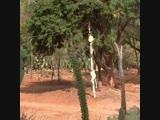 У лемуров самый забавный способ передвижения