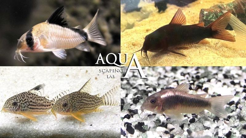 Aquascaping Lab - Corydoras Fish Armored Catfish description Pesce pulitore Corazzato descrizione