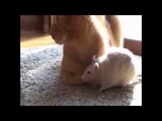 Прикол-кошка играет с крысами.