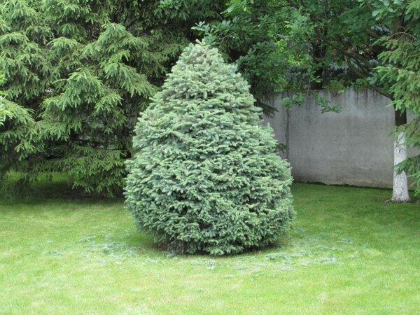 Ёлки-палки и ёлки-тарелки. Обыкновенные елки прекрасно переносят стрижку и другие манипуляции. Чем растение моложе, тем лучше. Форму ёлкам можно придать самую разную. Самый легкий вариант