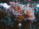 Однажды ты встретишь кого-нибудь, кто будет любить тебя, как Маленький Принц любит свою розу.