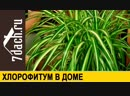 Хлорофитум- уход, размножение, особые свойства - 7 дач