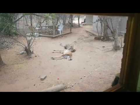 Leopard makes a meal at the Lodge Kitchen