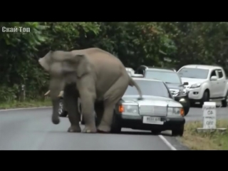 СЛОН В ДЕЛЕ! Слон против львов, крокодилов, носорогов