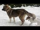 11. Кавказская овчарка (6 мес) и собака-кусака (1,5 г)