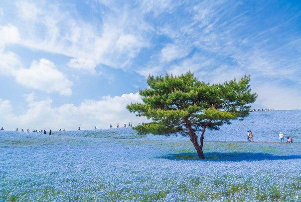 Немофила - көк өсімдік. Олардың саны бұл қорықта 4 500 000 жуық, Ибараки, Жапони...