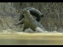 Ягуар. Охота на крокодила! 2