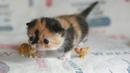 Самые маленькие породы кошек в мире!