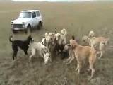 охота по вольному волку с борзыми