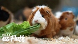 The Woman Whos Rescued Thousands of Guinea Pigs CUTE AS FLUFF