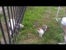 Знакомство Лабрадора с кошкой