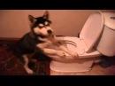 Начальник заставил собаку чистить говно