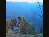 Уникальные кадры амурских тигрят
