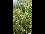 Бабочка спит в полдень в 30 гр. жару на цветущей липе, среди пчел и шмелей , они не видны