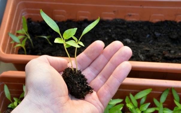 Выбираем число когда в марте сажать перец на рассаду Советы по выбору сорта и как правильно ухаживать за сеянцами, когда высаживать в открытый грунт
