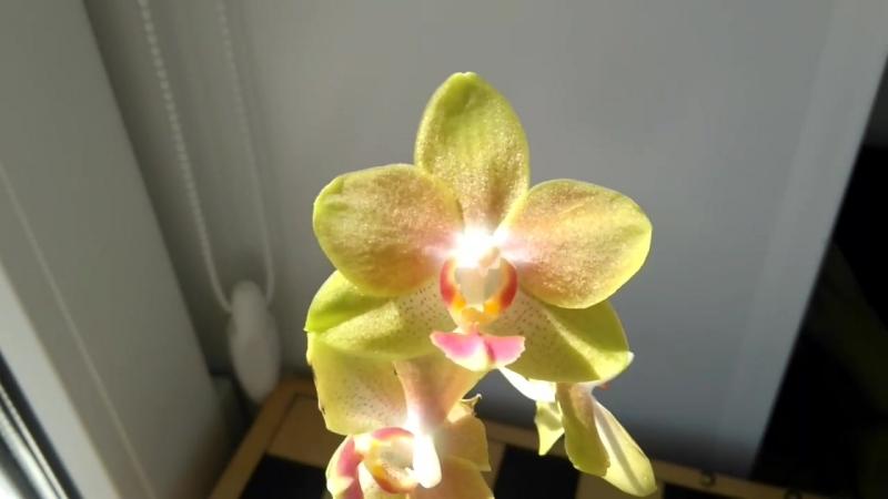 Dtps.Miki Golden Sean Baby MXS02 *aroma*