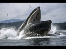 Humpback Whales Feeding 30 Yards From Beach West Cliff Dr Santa Cruz CA