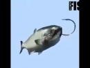 Как правильно насадить рыбу приманку на крючок