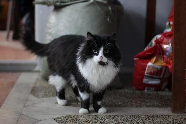 Шикарный кот Маркиз