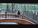 NO COMMENT | Панды резвятся в снегу