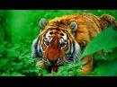 Очень редкая встреча Русского Тигра Амба Русский Тигр Документальный фильм HD