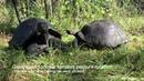 Galapagos Tortoises Pasture Rotation with neck rub.