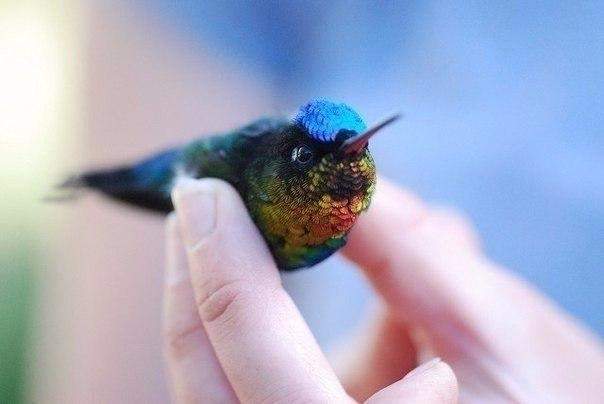 Колибри единственная птица на планете, способная летать назад.