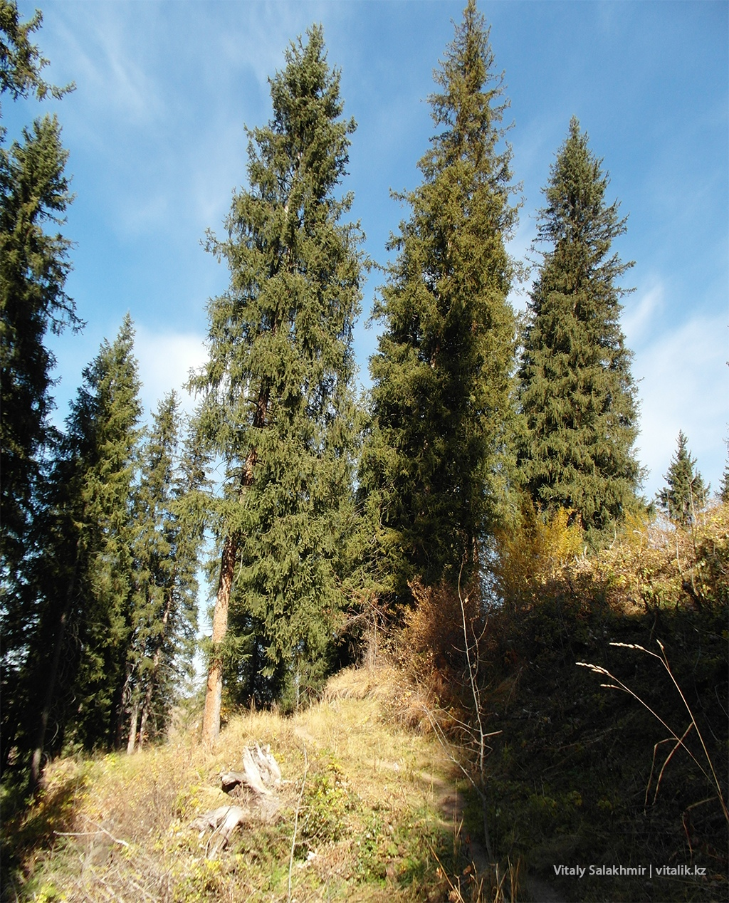 Ели елки дорога Бутаковка 2018