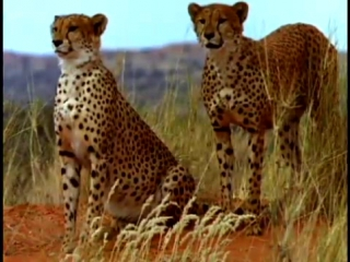 Video_Activities_2_cheetah_vs_gemsbok_med