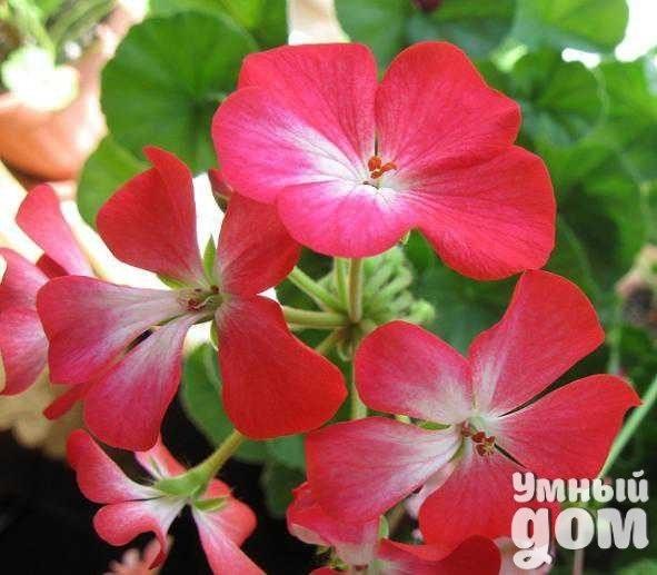 Особенности выращивания пеларгонии Пеларгонию все чаще используют цветоводы благодаря ее засухоустойчивости, яркой окраске и обильному цветению. Пеларгония необыкновенно смотрится на клумбах и рабатках. Прежде всего, это комнатное растение, оно прекрасно растет и в цветниках. Любители цветов выращивают ее на балконе, веранде, на подоконнике. Народное название герань ученые оставили как грунтовую культуру, а те, что растут в помещениях и цветниках, относят к роду пеларгоний. Самая…