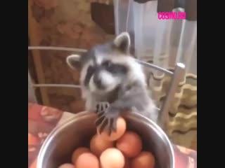 Крошка енот и яйца.