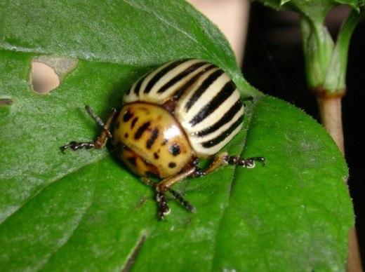 как побороть колорадского жука без химии как побороть колорадского жука без химииколорадский жук очень хитрое насекомое. каждый год он приспосабливается к ядам, которыми вы его травите, чтобы в
