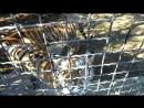 Парк львов Тайган Тигры исполняют коронный номер