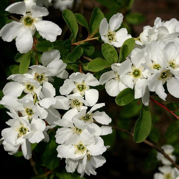 ЭКЗОХОРДА Экзохорда листопадный кустарник, привлекающий внимание обывателя обильным цветением в начале лета. При правильном уходе, количество белых крупных цветков, собранных в плотные кисти,