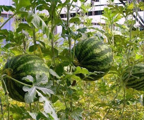 Выращиваем арбузы в теплице!