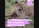 Львица загрызла самку бабуина, но спасла ее детеныша