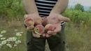 Погибающие фруктовые сады в Абхазии